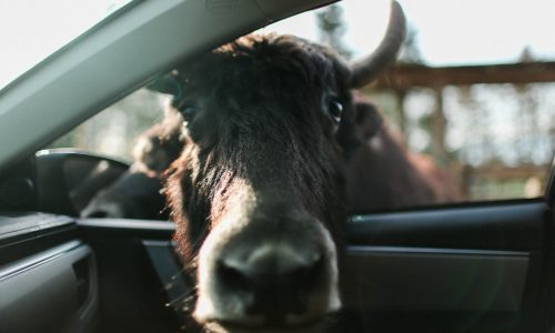 There's A Cow In My Car
